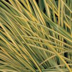 Perennial Grass Acorus Ogon