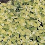 Helichrysum Lemon