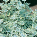 Helichrysum Licorice Splash