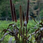 Millet Purple Baron