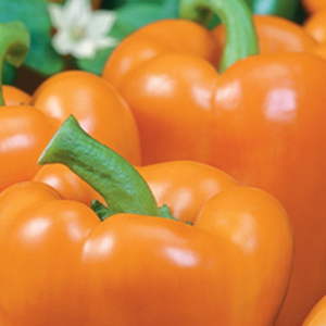 Orange-Bell