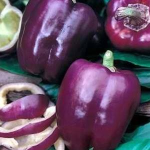 Purple-Beauty-Bell