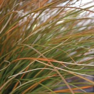 Carex Orange Sedge