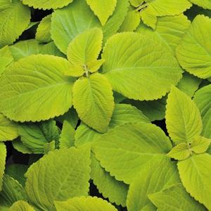 Coleus Versa Green
