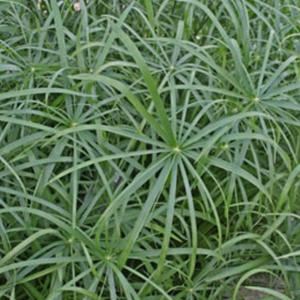 Cyperus Baby Tut