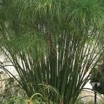 Grass Cyperus King Tut