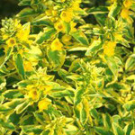 Lysimachia Golden Alexander