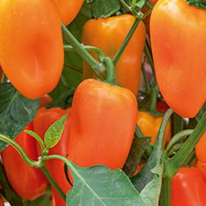 pepper-sweet-little-bells