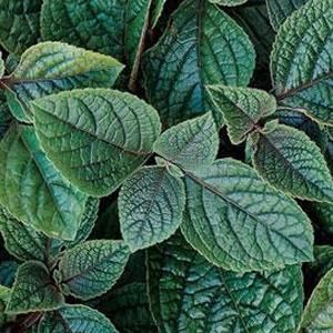 Plectranthus Nico