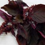 AmaranthRed Leaf