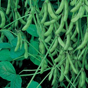 Beans Soy Edamame Shirofumi