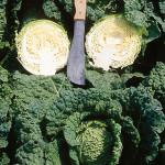 Cabbage Alcosa