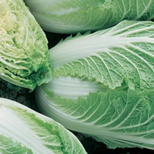 Cabbage Bilko Chinese