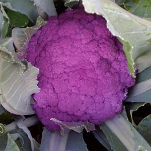 Cauliflower Purple Graffiti
