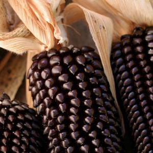 Corn Dakota Black Pop