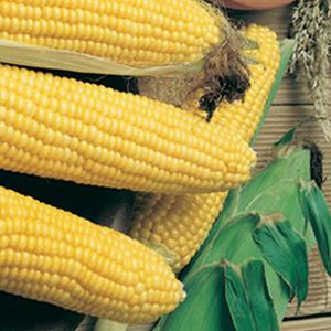 Corn Spring Treat