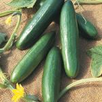 CucumberDiva