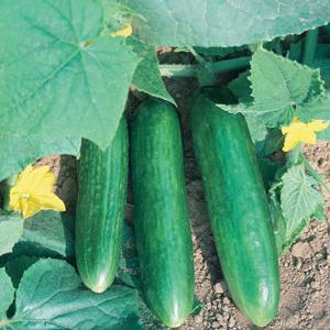 Cucumber Mideast Prolific