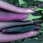 EggplantPing Tung Long