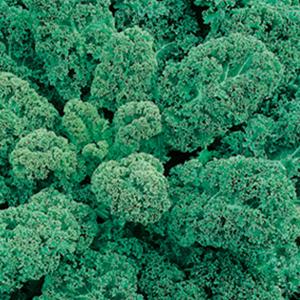 Kale True Siberian