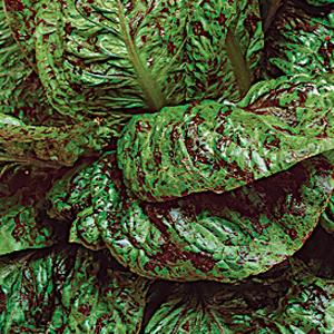 Lettuce-Mortistone