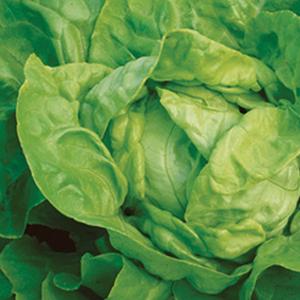 Lettuce Arctic King