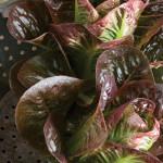 Lettuce Breen