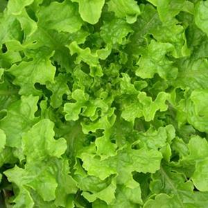 Lettuce Emerald Oakleaf
