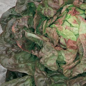 Lettuce Marvel of 4 Seasons