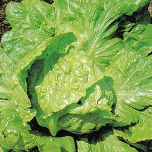 Lettuce Nevada