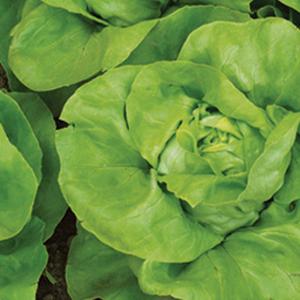 Lettuce Summer Bibb
