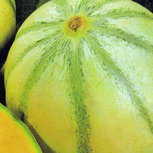 Melons Sivan French Charentais
