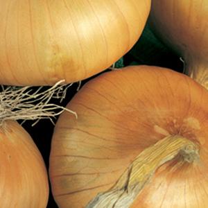 Onion Cippolini Yellow