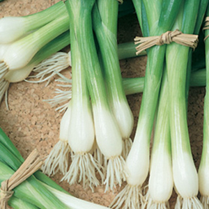 Onion Lisbon White Bunching