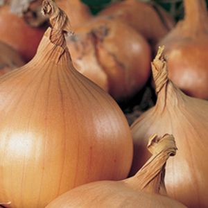 Onion New York Early