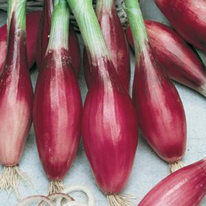 Onion Red Torpedo