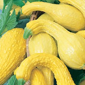 Squash Summer Yellow Crookneck