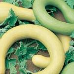 ZucchiniTromboncino