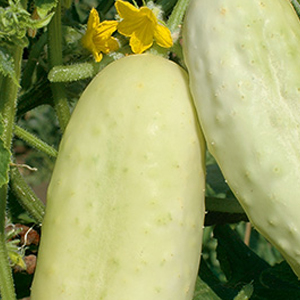 cucumber-salt-and-pepper-pickle