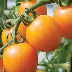 tomato-sunrise-bumblebee