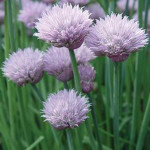 Chives Chives
