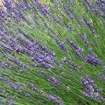 Lavander Provence