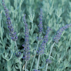 Lavender Allardii