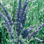 Lavender Goodwin Creek Gray