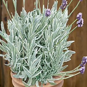Lavender Silver Edge