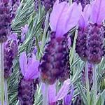 Lavender Spanish