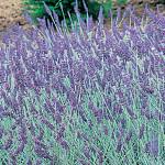 Lavender  Twickle Purple