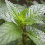 Mint Peppermint