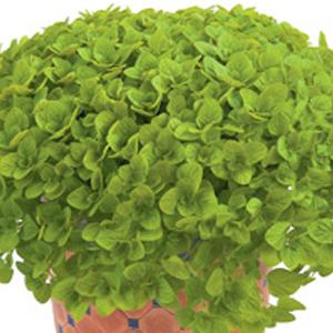 Oregano Aurea Green