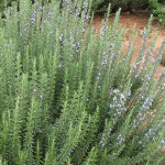 Rosemary Tuscan Blue
